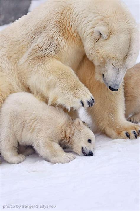 cute polar bear family stock   sergei gladyshev