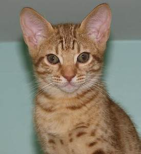 Cosmic Spots Ocicats, Ocicat Kittens for sale year round ...