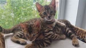Brown Spotted Pedigree Bengal Kitten | London, South East ...