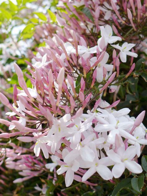 25+ Best Ideas About Jasmine Plant On Pinterest Jasmine