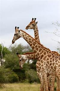 How Do Giraffes Mate 9422 | LINEPC