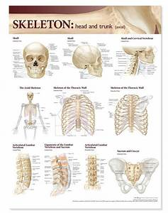 Atlas Of Anatomy Skeletal System Chart  Head And Trunk