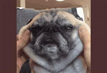 Barkpost Bulldog French Flaps Dog Shedding