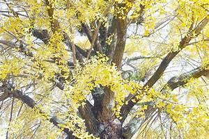 the the ginkgo tree kumamoto japan the