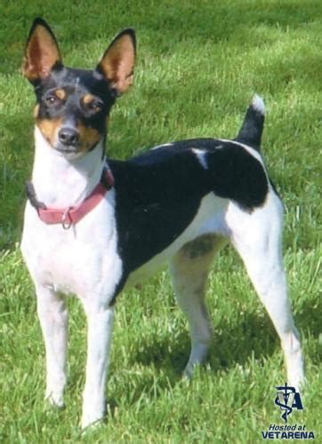 rat terrier complete breed information and photos