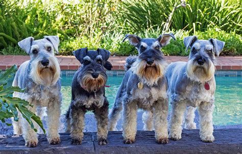 schnauzer friends south africa community home