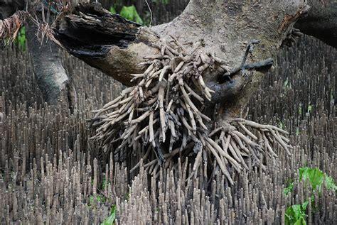Aerial Root