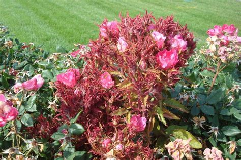Identifying And Dealing With Rose Rosette Disease
