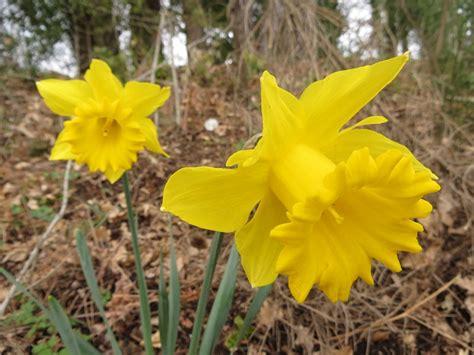 tromboni fiori arbusti e piante narciso