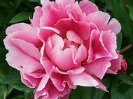 The Most Beautiful Flower Peonies