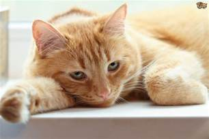 sick cat when cats are sick why do they hide away pets4homes