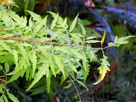 plante de cuisine rhus typhina 39 tiger 39 un sumac de virginie original