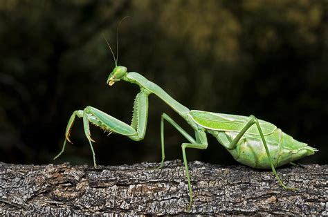 tree tote bag praying mantis perched on a tree photograph by goldfarb