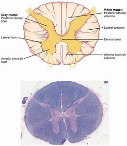 14 3 The Brain And Spinal Cord  U2013 Anatomy  U0026 Physiology