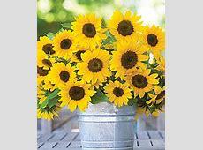 Sunflower, Sunny Bunch Burpee