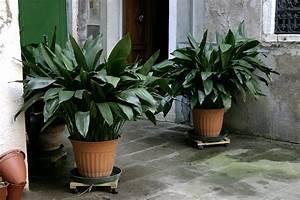 Zimmerpflanzen Für Wenig Licht : zimmerpflanzen die wenig licht ben tigen und trotzdem was hermachen indoorgarten ~ Sanjose-hotels-ca.com Haus und Dekorationen