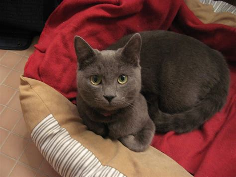 Do Russian Blue Cats Shed by Matthias Russian Blue Cat Forum Cat Discussion Forums Do