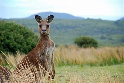Adopt Kangaroo