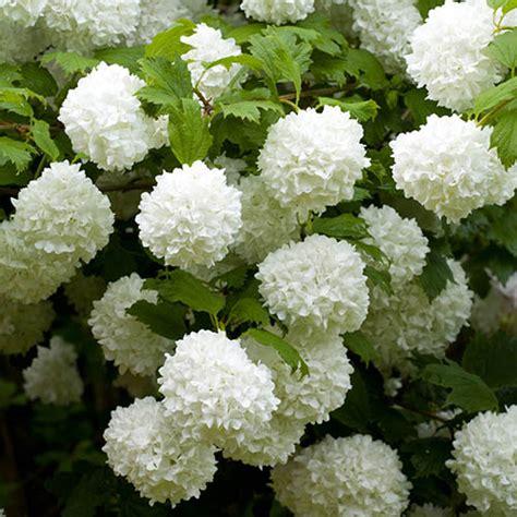 viburnum opulus roseum snowball tree yougarden