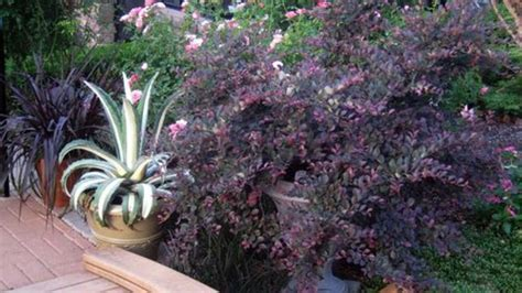 The Best What a Petalums    You Know, Them Purple Bushes
