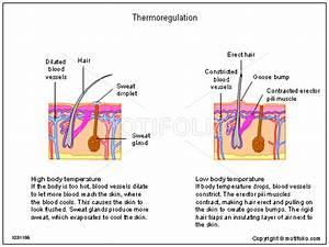 Thermoregulation Illustrations