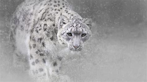 wallpaper snow leopard animals  wallpaper