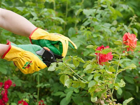 How To Prune Roses Saga