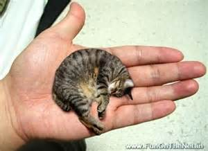world s cat forex for you world s smallest cat 15 5 cm 6 1 inch
