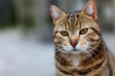 gestreifte katzen bilder 187 bilddatenbank 187 stockfotos
