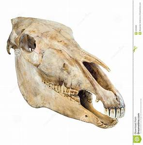 Skull Of A Horse Stock Image  Image Of Doom  Mammal