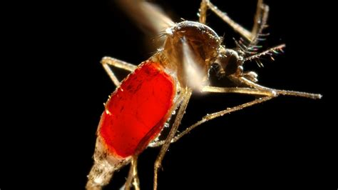 How Dengue fever is spreading round the world - CNN