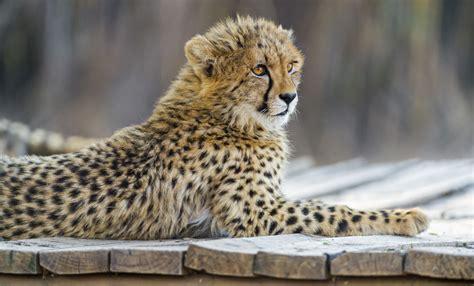 Cheetah Cub The Platform Tambako Jaguar High