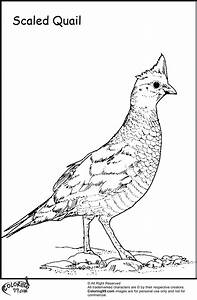 Quail Coloring Pages | Minister Coloring