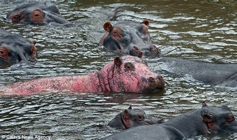 Rare Pink Hippo Spotted In Kenya With Leucism Condition