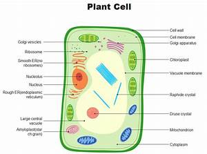 How To Draw A Venn Diagram Of Animal And Plant Cells