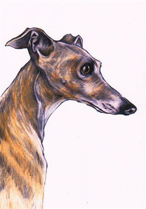 foto de Italian greyhound art print Iggy art images by