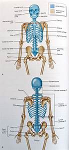 25  Best Ideas About Axial Skeleton On Pinterest