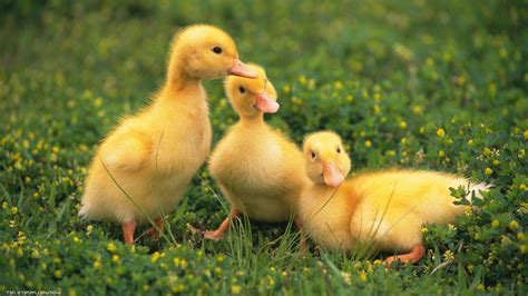 Baby Animals Wallpaper Hd - duck birds baby animals wallpapers hd desktop and