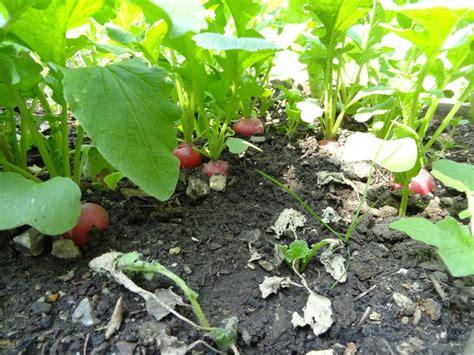 cuisiner feuilles de radis récoltes de radis mon potager carré