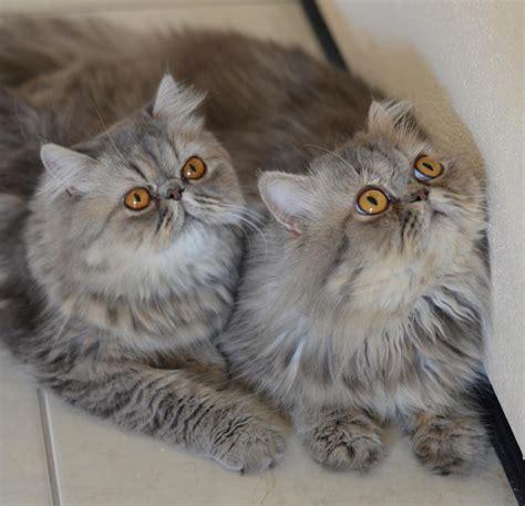 Hier gibt es hauptsächlich lets plays rund um ark. Gato persa - O grande campeão em popularidade felina | A ...