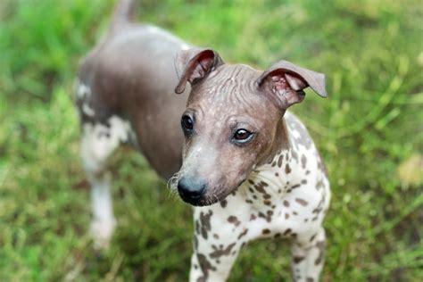 dog breeds  dont shed