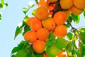 Dwarf Moorpark Apricot   PlantNet® Australia
