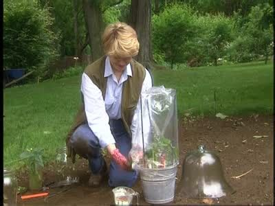 video propagating roses cuttings  hormones martha