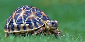 Indian Star Tortoises Star Tortoise Care