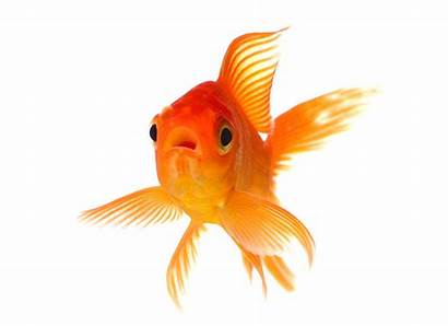 Goldfish Fish Gold Facts Pet Petmd Colored
