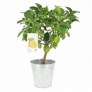 Prix D Un Citronnier : livraison citronnier fruitier foliflora ~ Premium-room.com Idées de Décoration