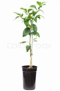 Baum Im Topf : s mling zitrusfrucht baum pflanze im kleinen topf ~ Michelbontemps.com Haus und Dekorationen