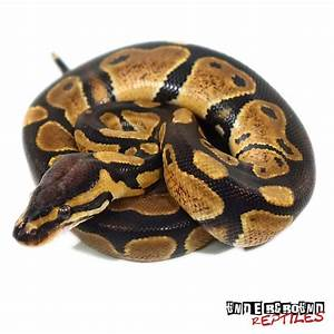 Baby Ball Pythons For Sale - Underground Reptiles