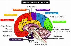 Cerebellum And Cognition In Multiple Sclerosis  The Fall