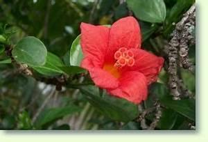 Hibiskus Pflege Zimmerpflanze : hibiskus pflege pflanzenfreunde ~ A.2002-acura-tl-radio.info Haus und Dekorationen
